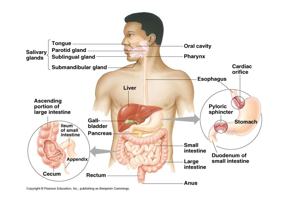 Digestive system human digestive system functions of the digestive 3 human digestive system ccuart Image collections