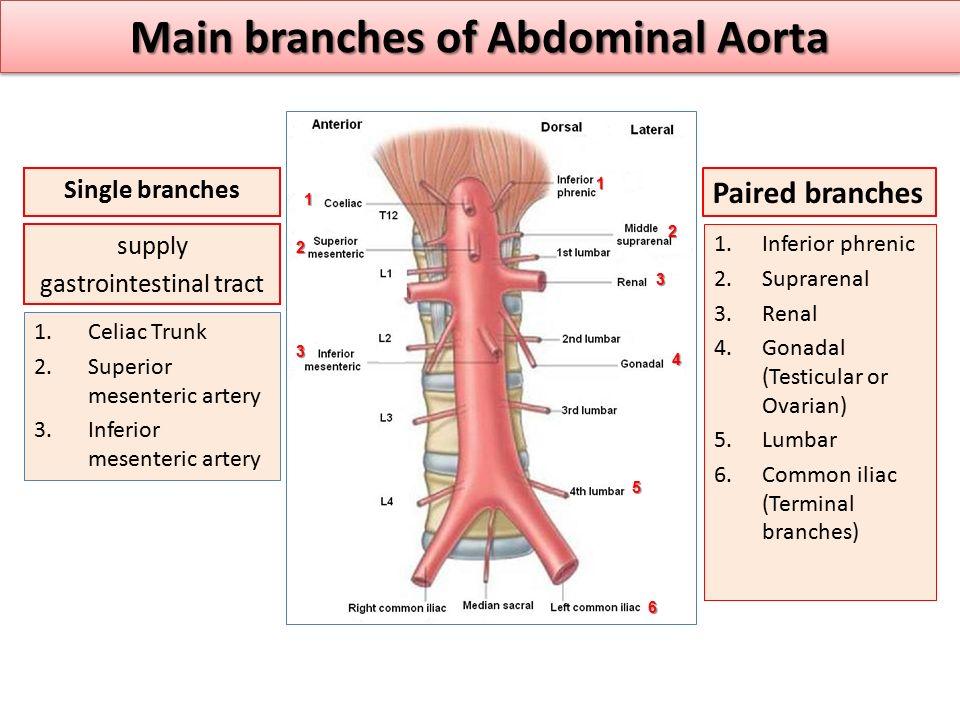 Main branches of Abdominal Aorta 1.Inferior phrenic 2.Suprarenal 3.Renal 4.Gonadal (Testicular or Ovarian) 5.Lumbar 6.Common iliac (Terminal branches)