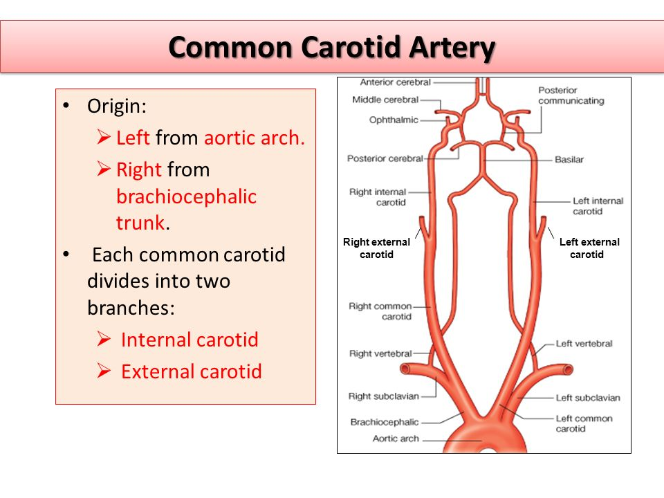 Common Carotid Artery Origin:  Left from aortic arch.
