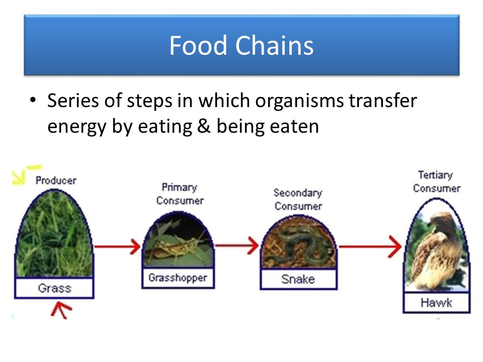 Food Chains Series of steps in which organisms transfer energy by eating & being eaten