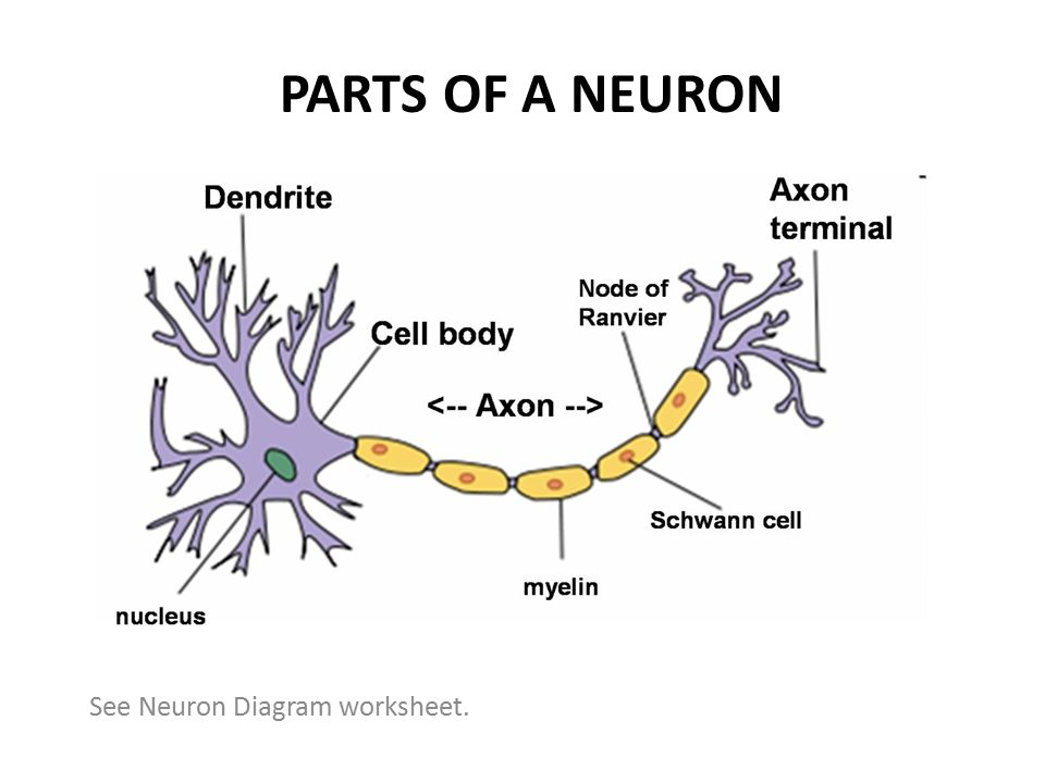 Neurons Neural Processing and Neurotransmitters ppt download – Neuron Worksheet