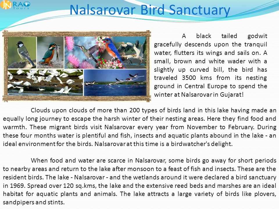Nalsarovar Bird Sanctuary A black tailed godwit gracefully descends upon the tranquil water, flutters its wings and sails on.