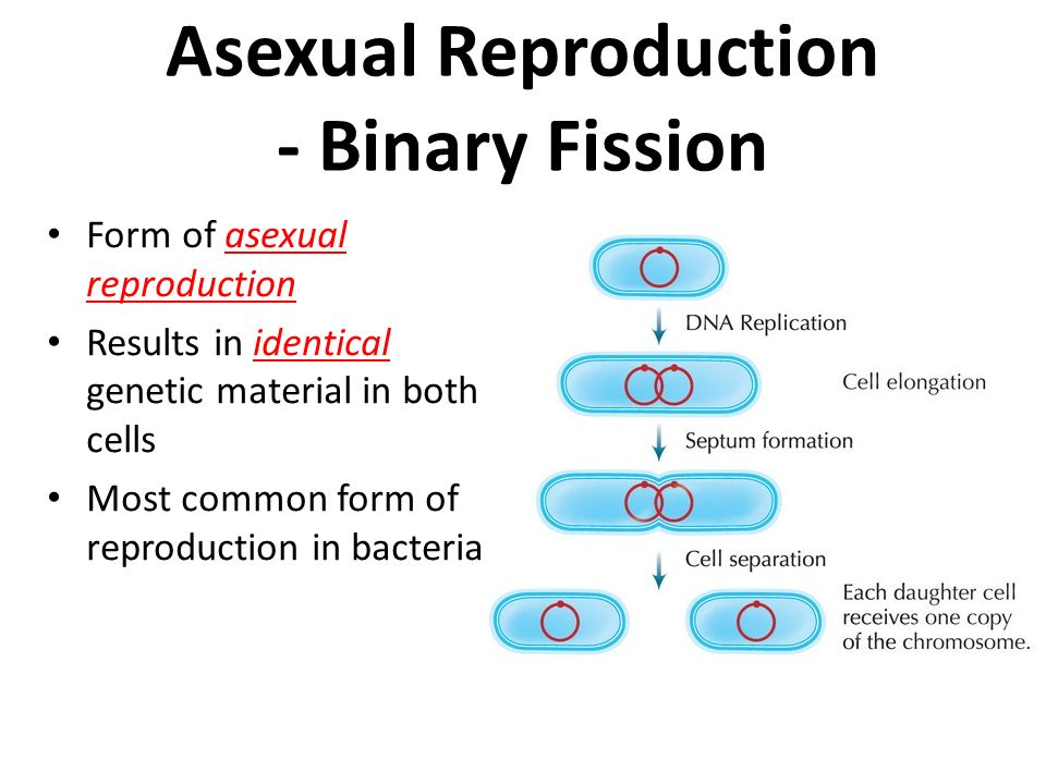 Reproduce asexually by binary fission images