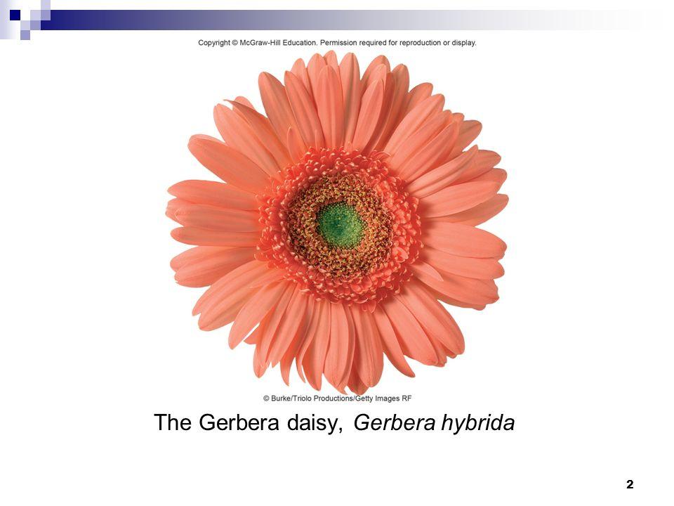 Gerbera Daisy Outline