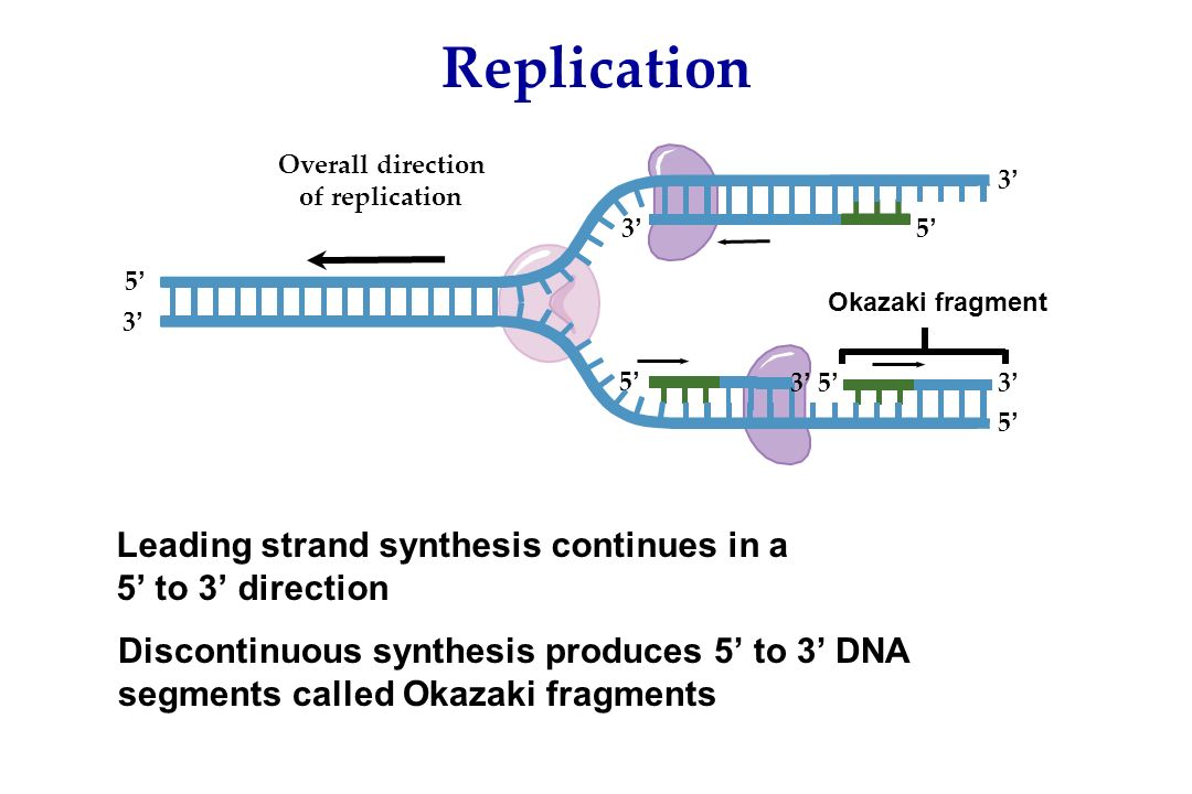 Model for DNA Replication Semiconservative model: Daughter DNA ...