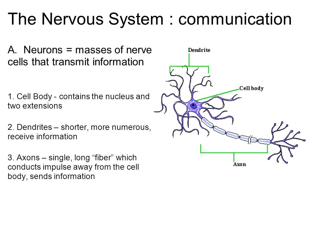 The Nervous System : communication A. Neurons = masses of nerve ...