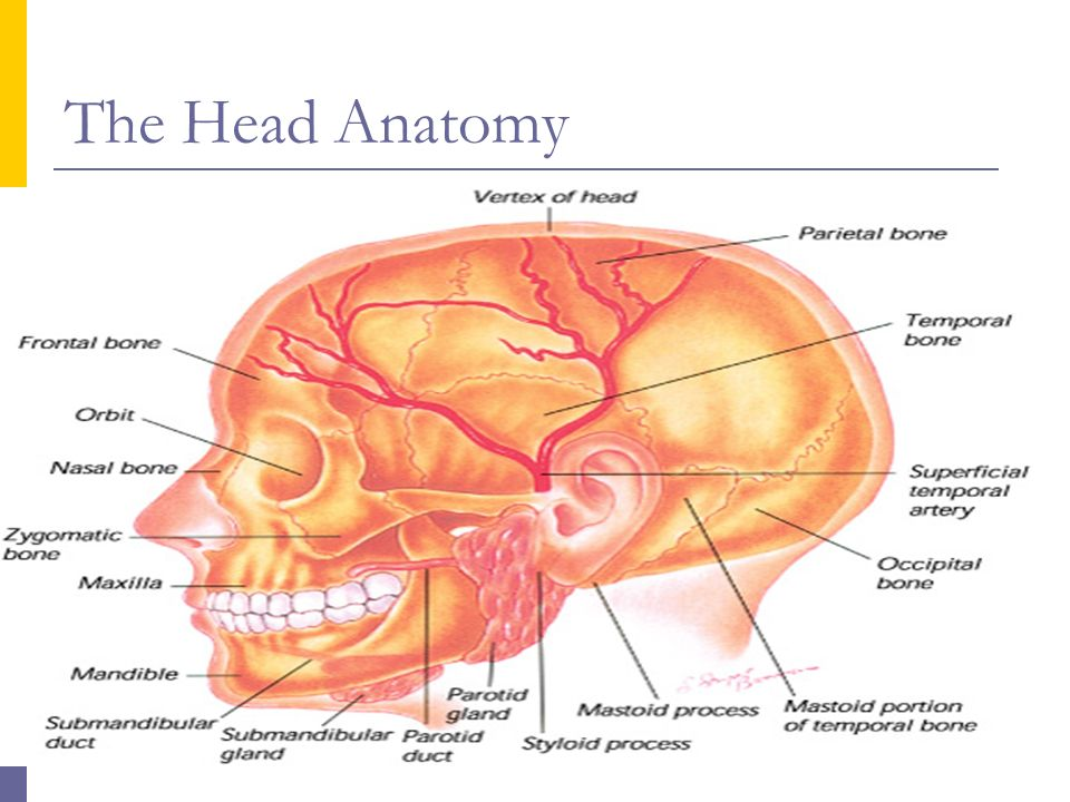 Anatomy head and neck ppt 1038650 - follow4more.info