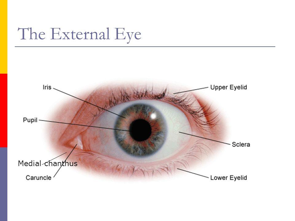 External eye anatomy
