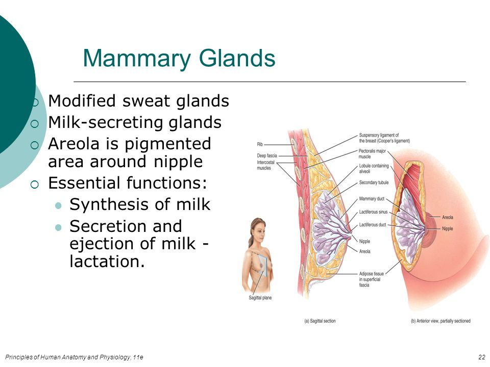 Human anatomy glands
