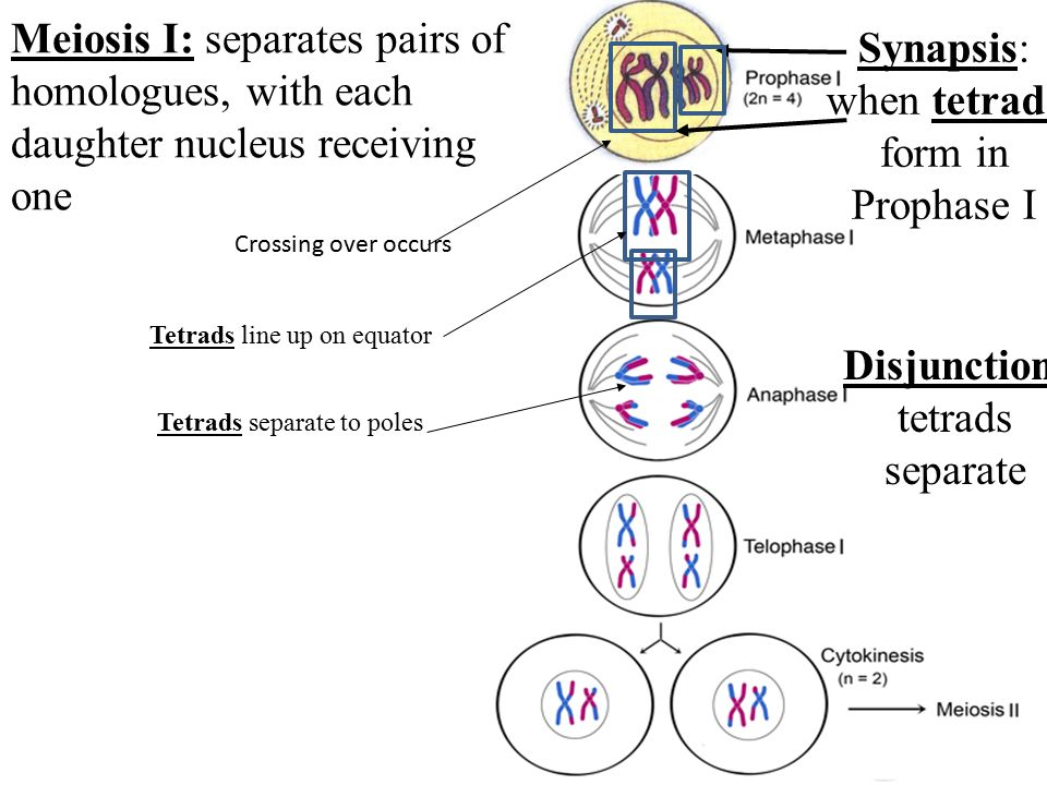 MEIOSIS: Sexual Reproduction Ch. 9.7 – EGG SPERM. - ppt download