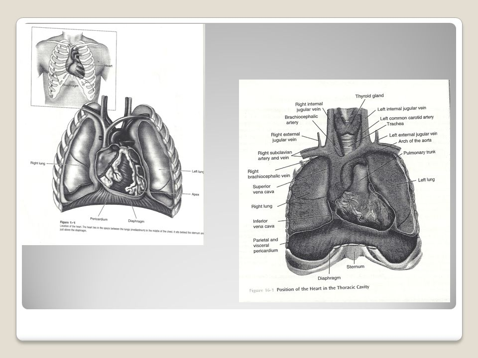 Cardiovascular Anatomy and Physiology Daymar College Lisa H. Young ...