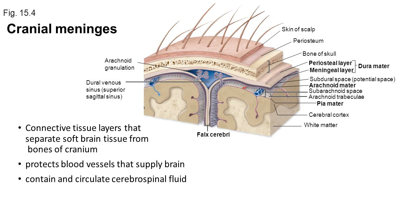 Scalp anatomy pictures