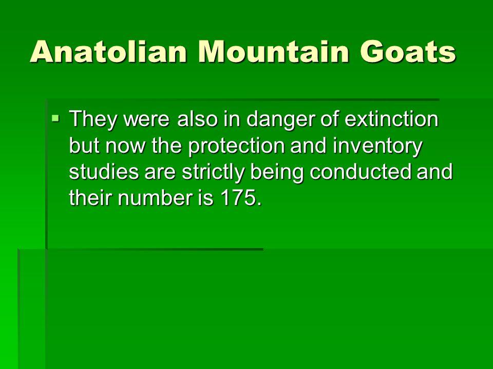 extinct mountain goat