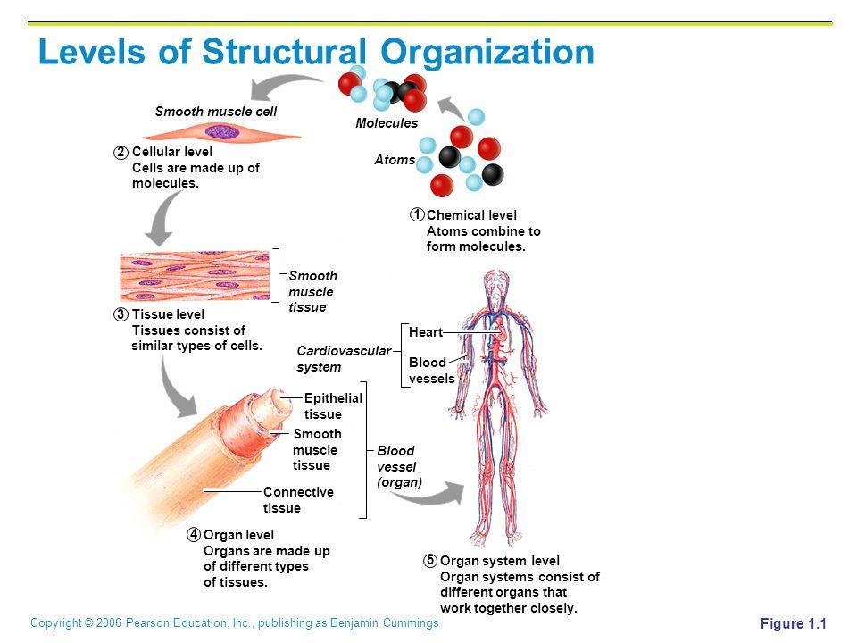 Human anatomy cells