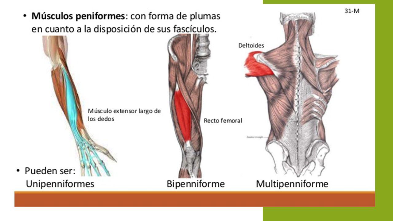 Los Movimientos De Los Musculos Pueden Ser - UKIndex
