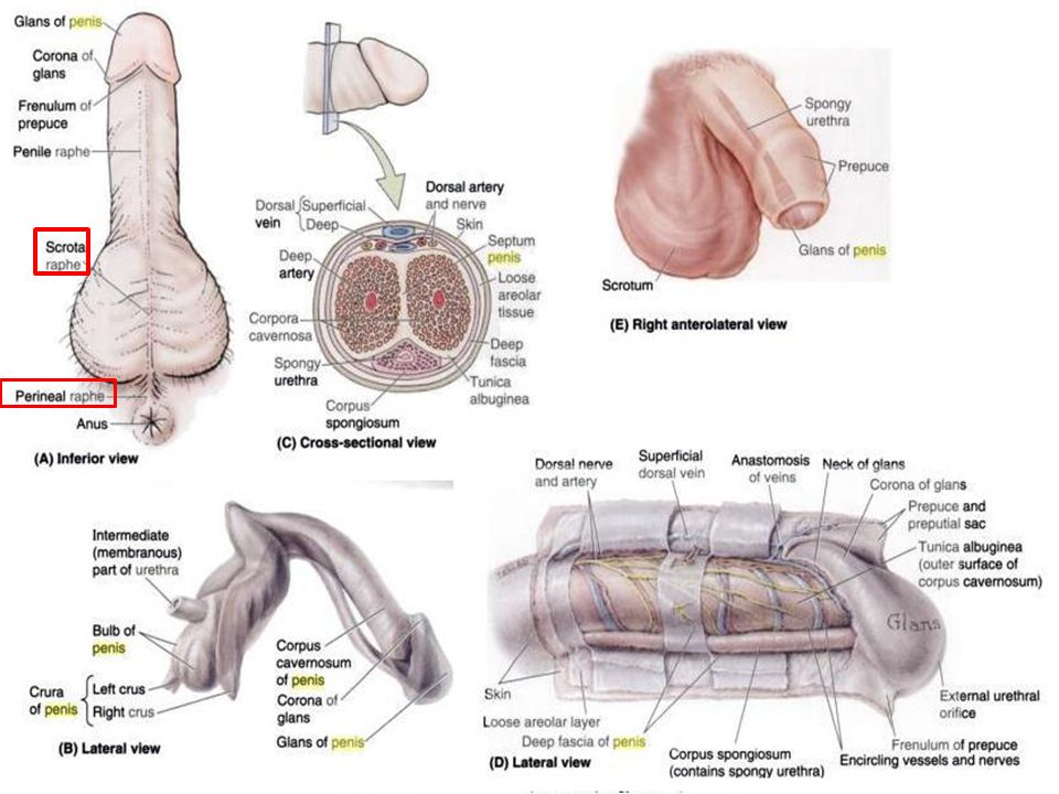 Old Fashioned Scrotum Anatomy Sketch - Anatomy Ideas - yunoki.info
