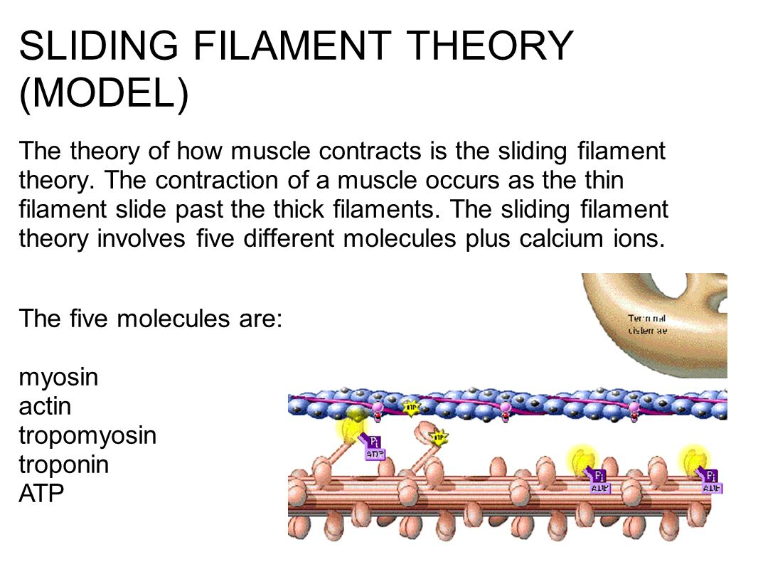 muscles and the sliding filament theory