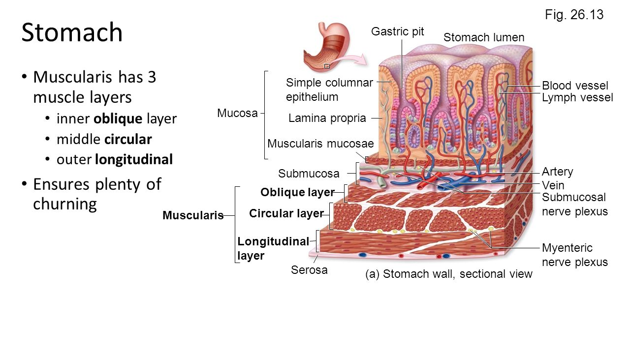 Stomach anatomy pictures
