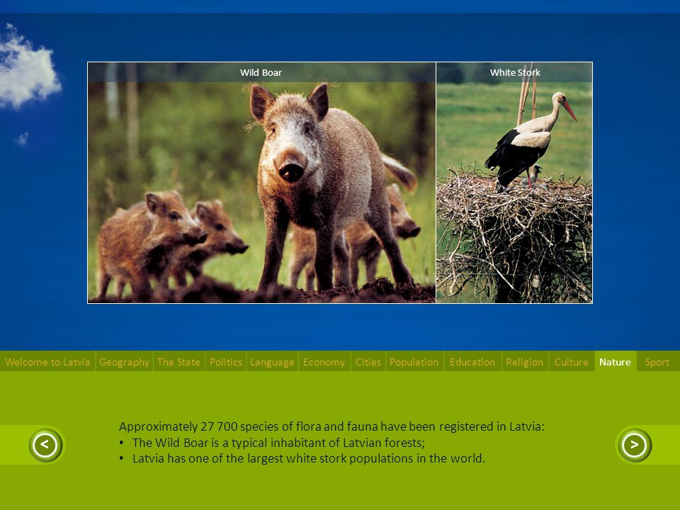 >< Approximately 27 700 species of flora and fauna have been registered in Latvia: The Wild Boar is a typical inhabitant of Latvian forests; Latvia ha