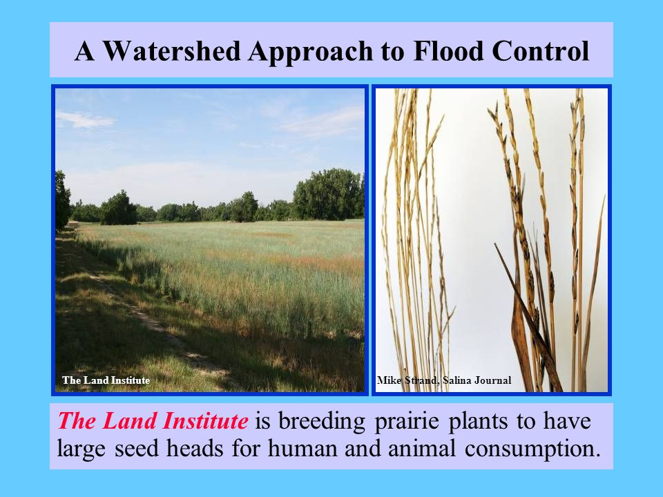 A Watershed Approach to Flood Control The Land Institute is breeding prairie plants to have large seed heads for human and animal consumption. The Lan