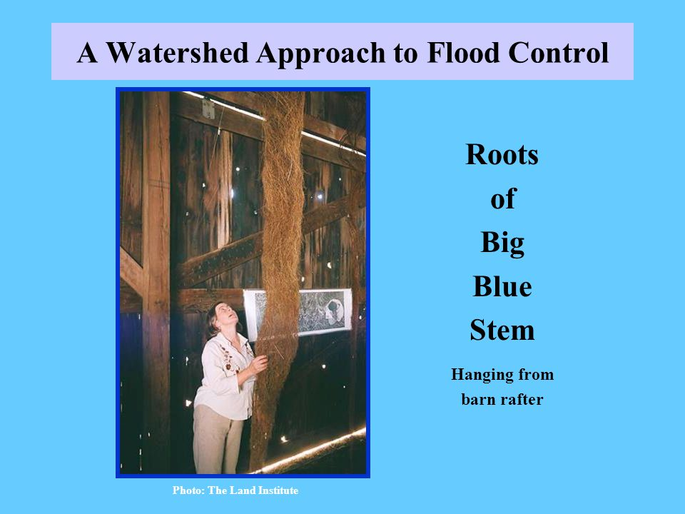 A Watershed Approach to Flood Control Roots of Big Blue Stem Hanging from barn rafter Photo: The Land Institute