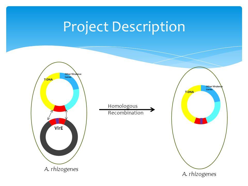 Project Description A. rhizogenes Homologous Recombination A. rhizogenes