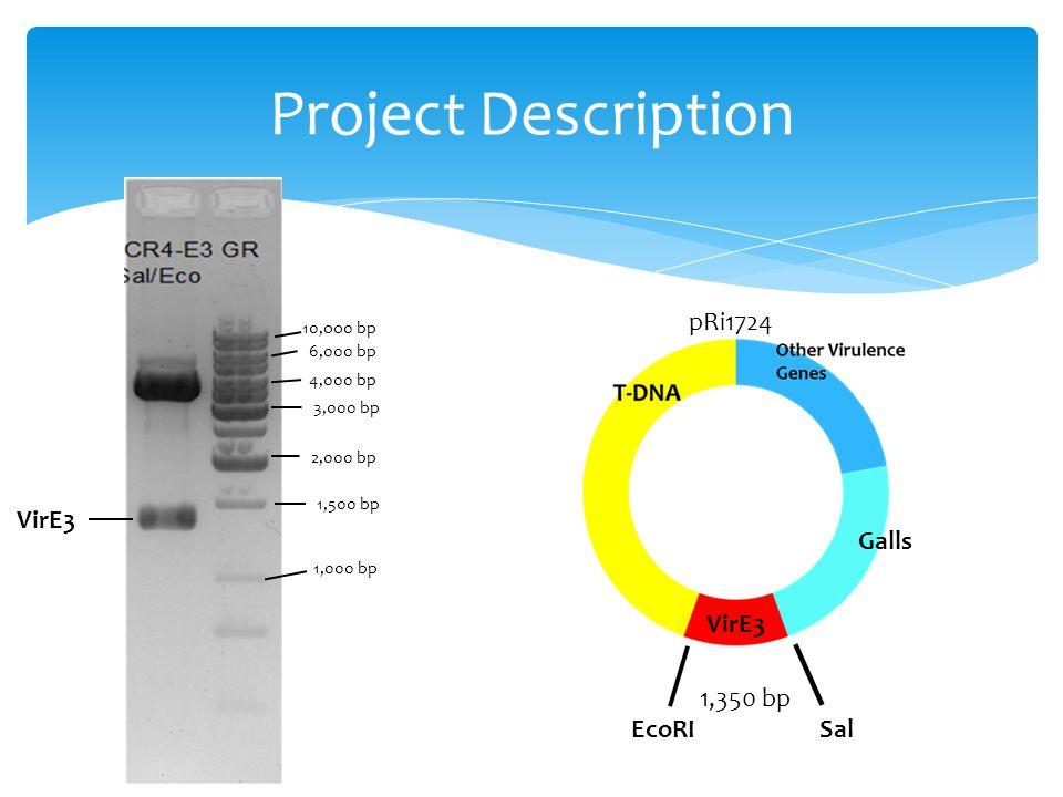 Project Description 10,oo0 bp 6,000 bp 4,000 bp 3,000 bp 2,000 bp 1,500 bp 1,000 bp VirE3 pRi1724 1,350 bp EcoRISal Galls VirE3