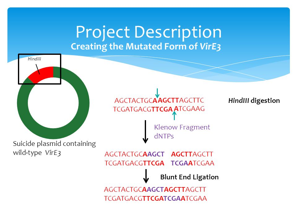 Project Description Creating the Mutated Form of VirE3 Suicide plasmid containing wild-type VirE3 HindIII AGCTTAGCTTC TCGATGACGTTCGA AGCTACTGCAAGCT AGCTTAGCTT TCGATGACGTTCGA TCGAATCGAA Klenow Fragment dNTPs AGCTACTGCAAGCTAGCTTAGCTT TCGATGACGTTCGATCGAATCGAA AGCTACTGCA ATCGAAG Blunt End Ligation HindIII digestion