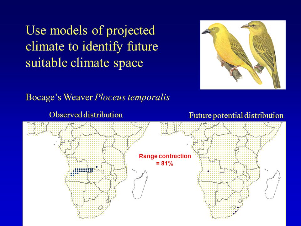 Observed distribution Future potential distribution Use models of projected climate to identify future suitable climate space Range contraction = 81% Bocages Weaver Ploceus temporalis
