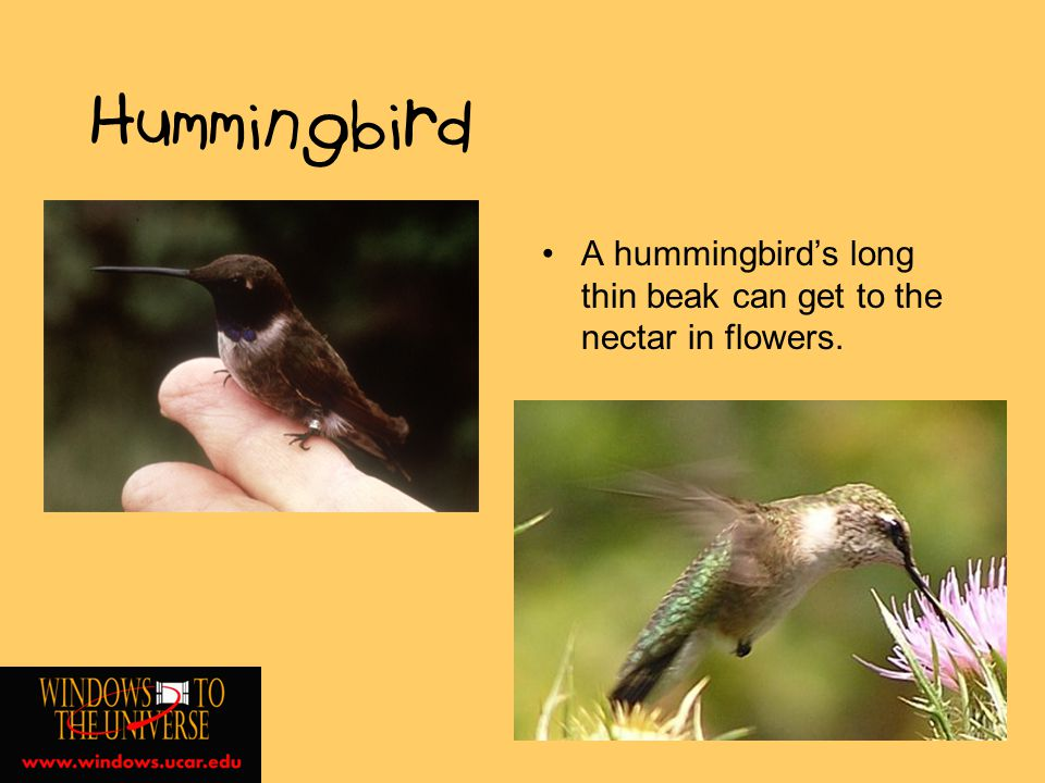 Hummingbird A hummingbirds long thin beak can get to the nectar in flowers.