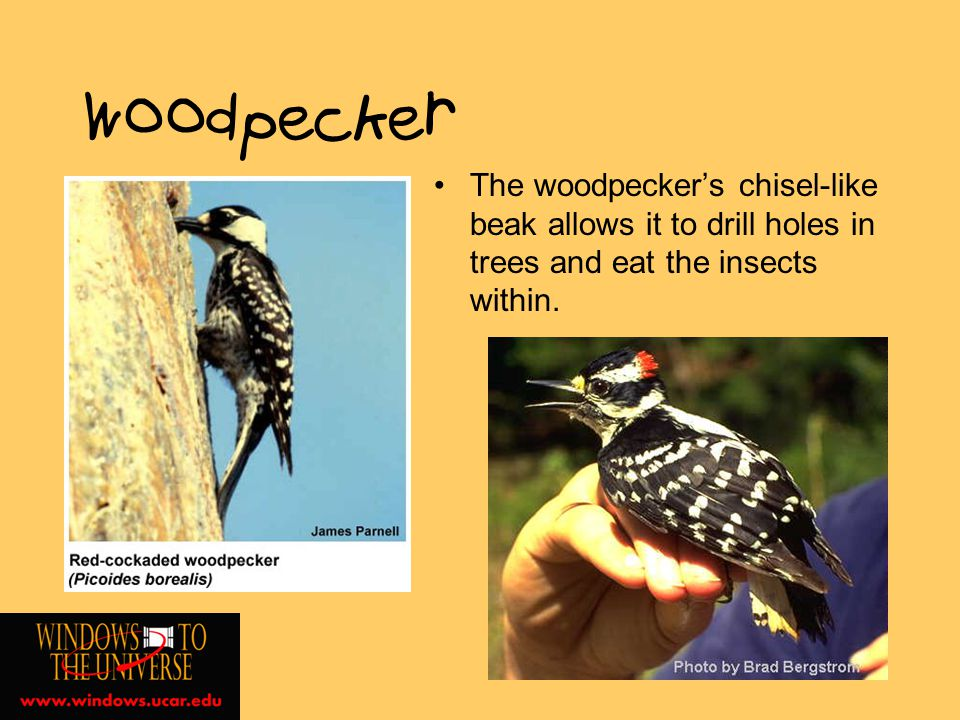 Woodpecker The woodpeckers chisel-like beak allows it to drill holes in trees and eat the insects within.
