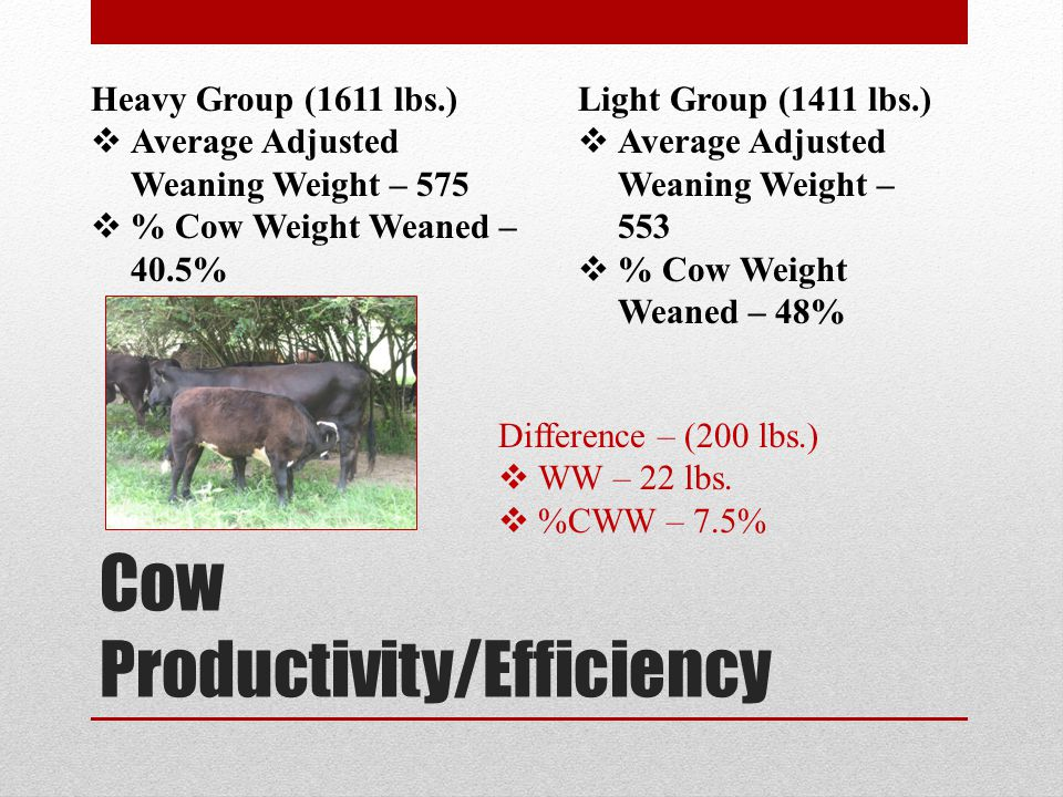 Cow Productivity/Efficiency Heavy Group (1611 lbs.) Average Adjusted Weaning Weight – 575 % Cow Weight Weaned – 40.5% Light Group (1411 lbs.) Average