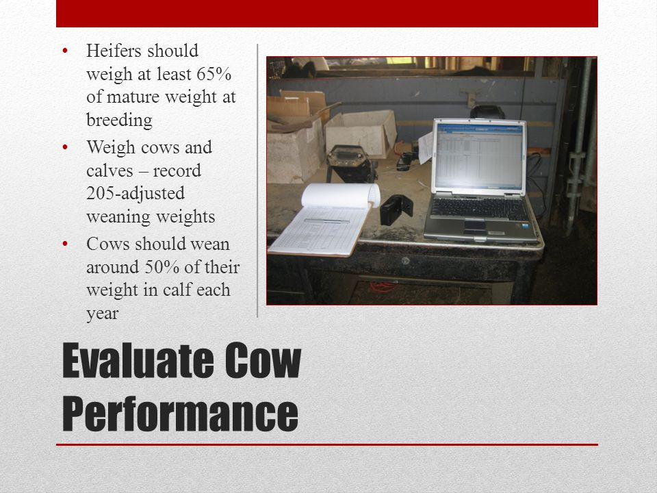 Evaluate Cow Performance Heifers should weigh at least 65% of mature weight at breeding Weigh cows and calves – record 205-adjusted weaning weights Co