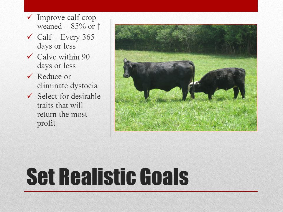 Set Realistic Goals Improve calf crop weaned – 85% or Calf - Every 365 days or less Calve within 90 days or less Reduce or eliminate dystocia Select f