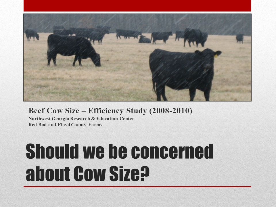 Study Objectives Determine what weight mature cows are the most efficient.