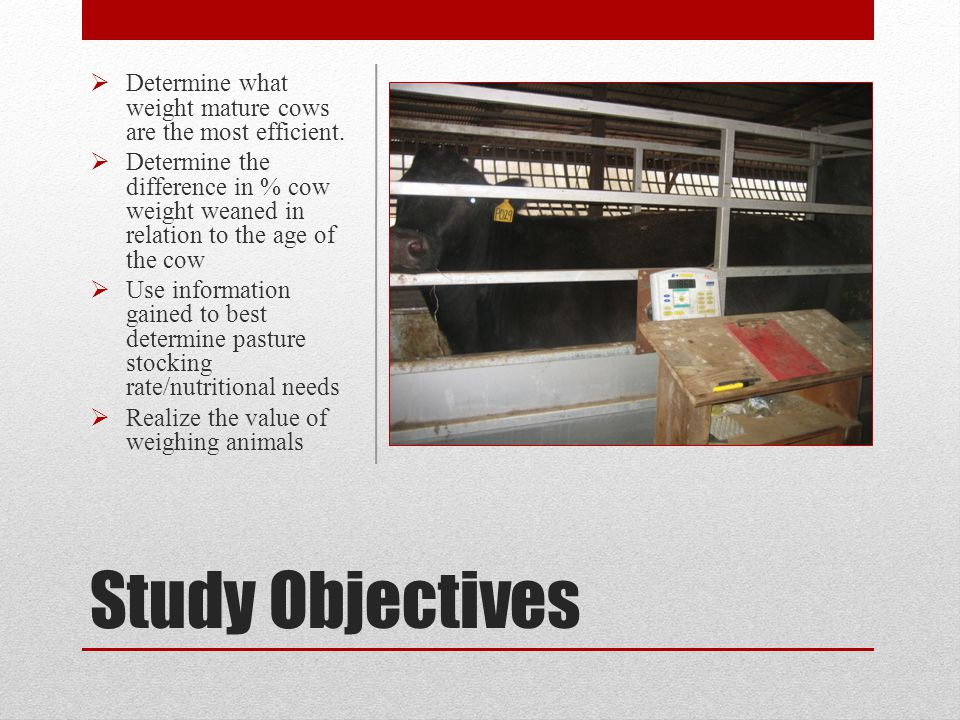 Study Collect Mature Cow Weights Pregnant Nursing Calf Weaning Collect Calf Weights Actual WW Adjust actual WW to 205 day WW