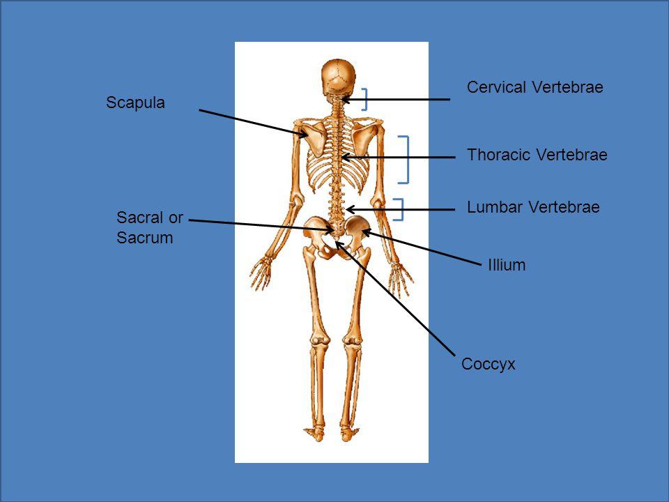 Cranium Mandible Sternum Rib Cage Clavicle Radius Carpals Phalanges Tibia Humerus Ulna Femur Patella Fibula Tarsals Metatarsals Phalanges Meta-Carpals