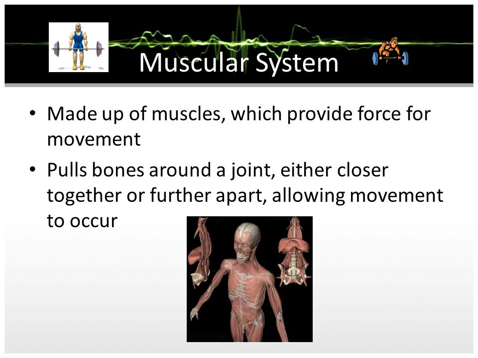 Skeletal System Foundation on which the body is structured Used to support and protect internal organs as well as allowing movement to occur.
