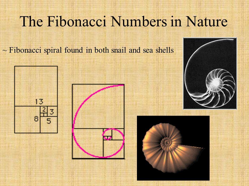 The Fibonacci Numbers in Nature Continued Lilies and irises = 3 petals Black-eyed Susans = 21 petalsCorn marigolds = 13 petals Buttercups and wild roses = 5 petals