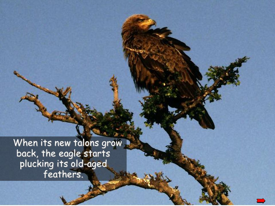 After plucking it out, the eagle will wait for a new beak to grow back and then it will pluck out its talons.