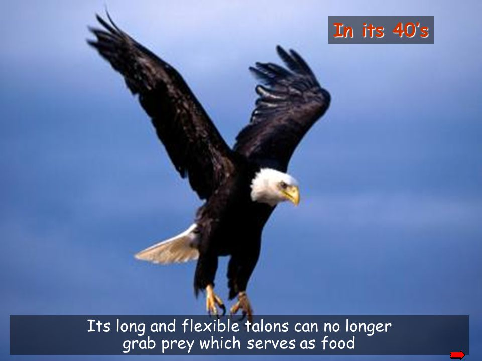 But to reach this age, the eagle must make a hard decision. It can live up to 70 years