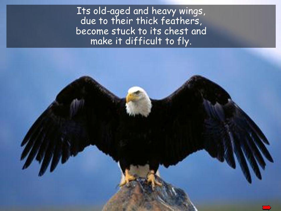 Its long and sharp beak becomes bent