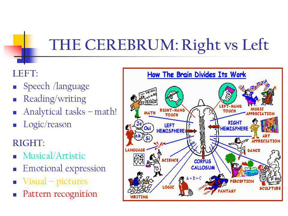 THE CEREBRUM Structures cont.: Longitudinal fissure = separates R & L hemispheres Corpus callosum = thick band of nerve fibers connecting R & L & allows communication
