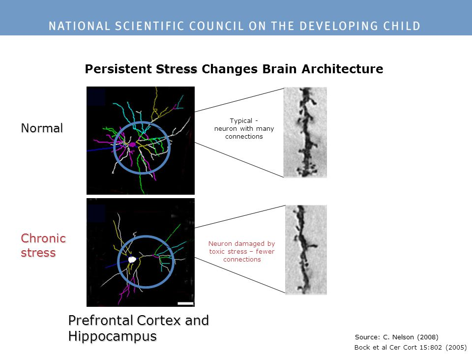 Stress Persistent Stress Changes Brain Architecture Source: C. Nelson (2008) Normal Chronicstress Prefrontal Cortex and Hippocampus Bock et al Cer Cor