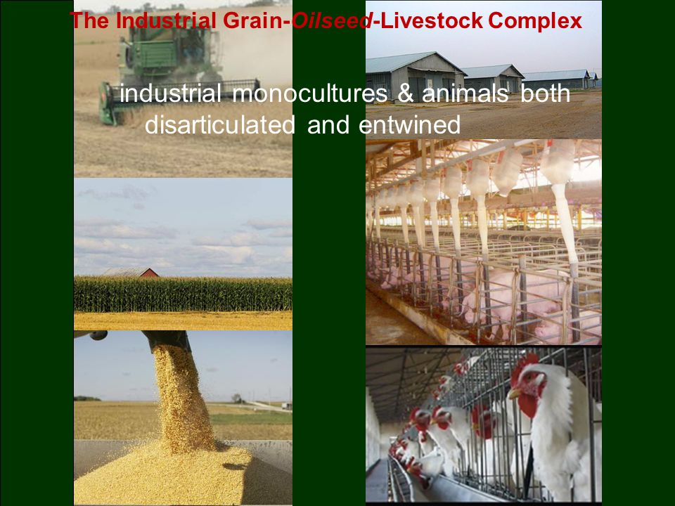 The Industrial Grain-Oilseed-Livestock Complex industrial monocultures & animals both disarticulated and entwined