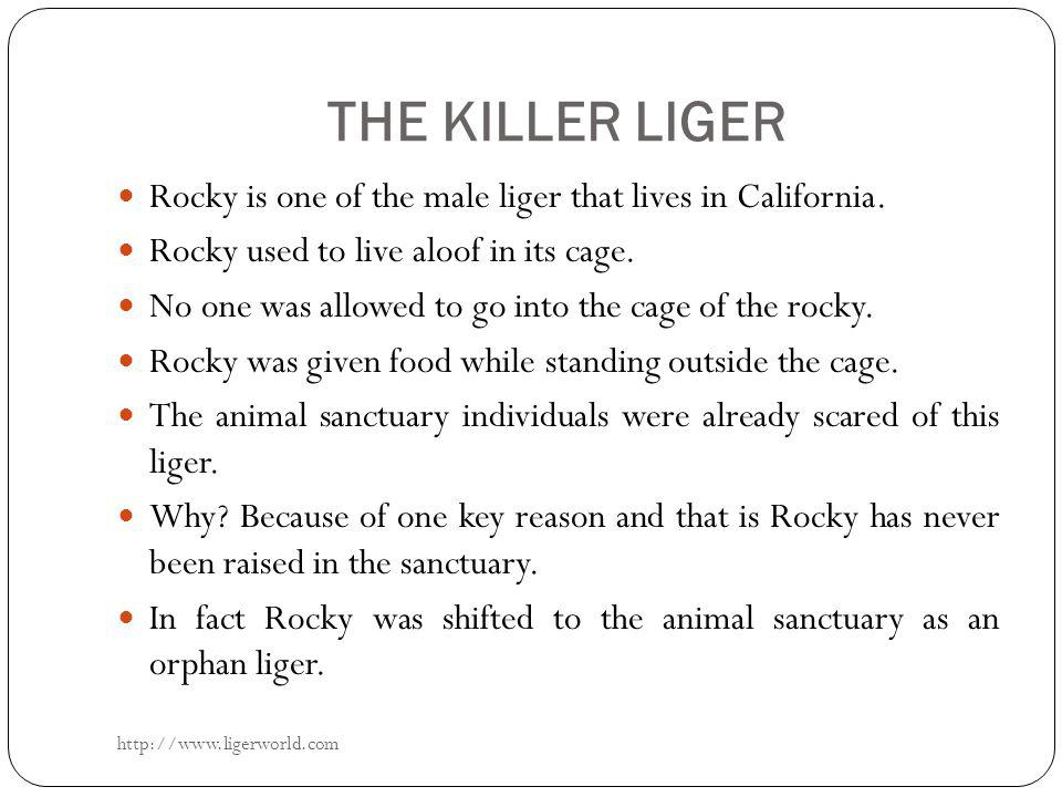 THE KILLER LIGER Rocky is one of the male liger that lives in California.