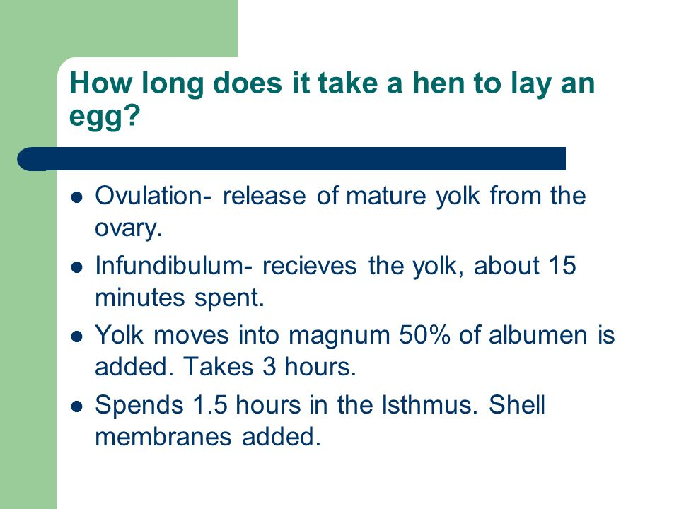 How long does it take a hen to lay an egg? Ovulation- release of mature yolk from the ovary. Infundibulum- recieves the yolk, about 15 minutes spent.