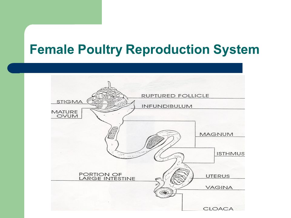 Female Poultry Reproduction System
