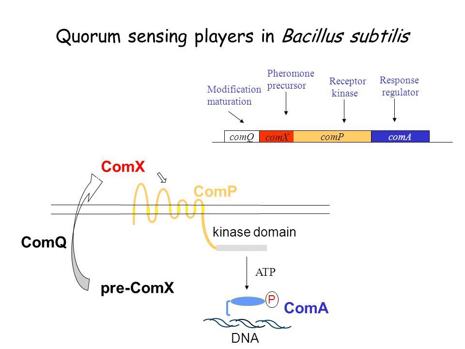 Quorum sensing players in Bacillus subtilis kinase domain ComP P ComA DNA pre-ComX ComQ ComX ATP comX comQ comP comA Response regulator Receptor kinase Pheromone precursor Modification maturation