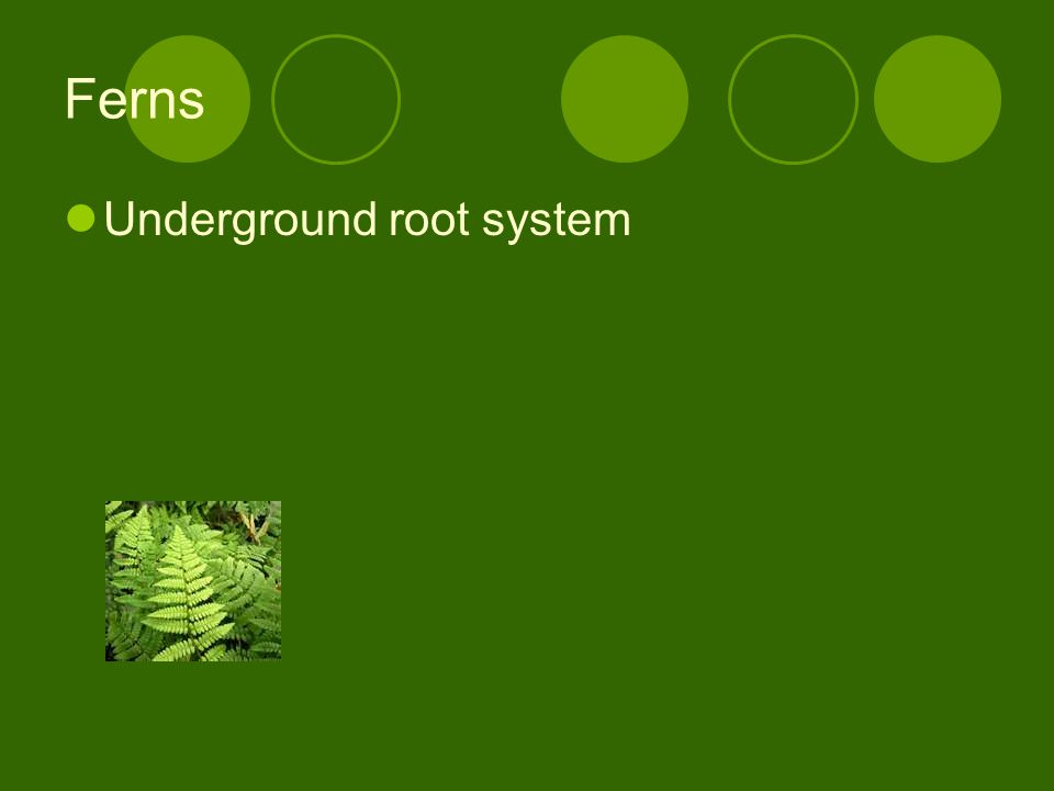 Ferns Underground root system